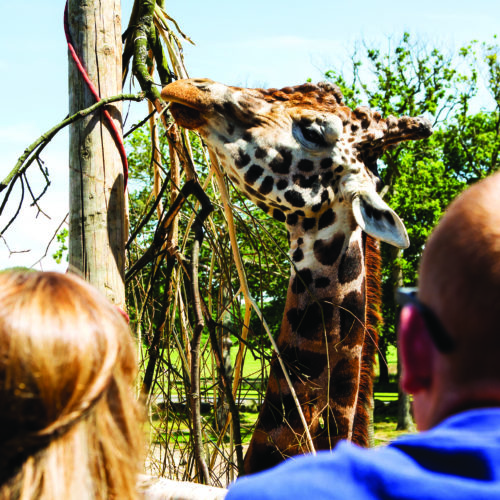 Giraffe at Knowsley Safari Park